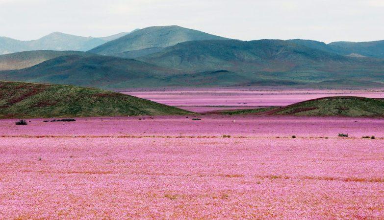 Deserto de Atacama, no Chile, coberto de flores depois das chuvas provocadas pelo El Niño