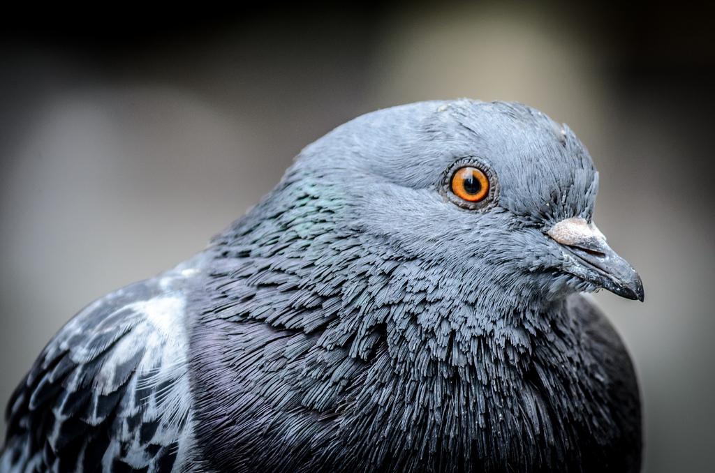 Pombos estão a perder dedos ou patas por causa da poluição - ZAP