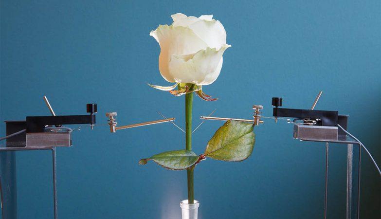 Cientistas da Universidade Linköping, Suécia, criaram rosas vivas com circuitos electrónicos no meio dos sistemas vasculares.