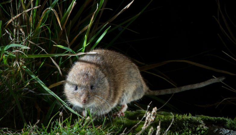Chionomys nivalis , o rato-das-neves