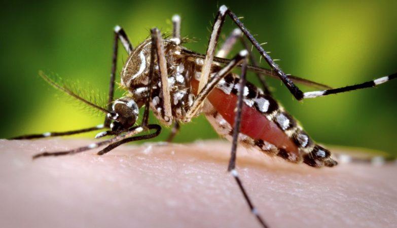 Fêmea de Aedes aegypti, mosquito que pode transmitir três doenças: zika, dengue e chikungunya