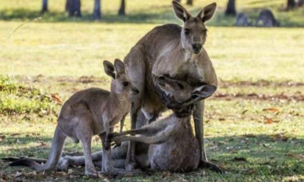 As imagens de um canguru a embalar uma fêmea moribunda causaram comoção na Austrália