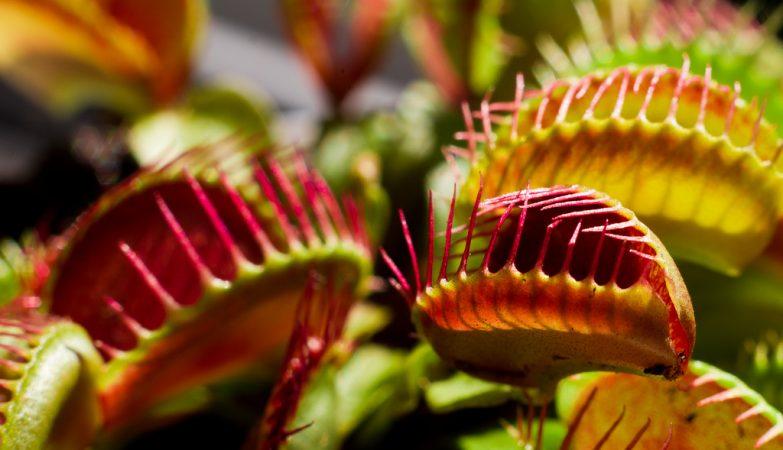 A Dionaea muscipula sabe contar