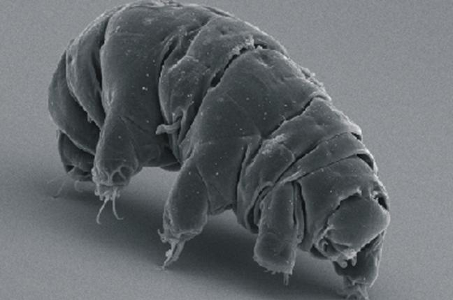Um tardigrado activo visto ao microscópio