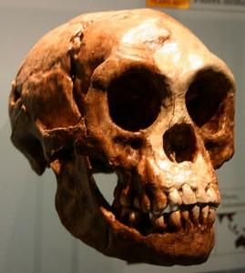 Crânio de um exemplar de Homo Floresiensis, também conhecido por Hobbit.