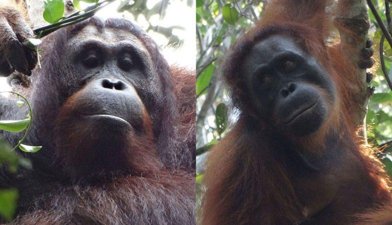 Ekko e Kondor, os primeiros orangotangos assassinos da própria espécie