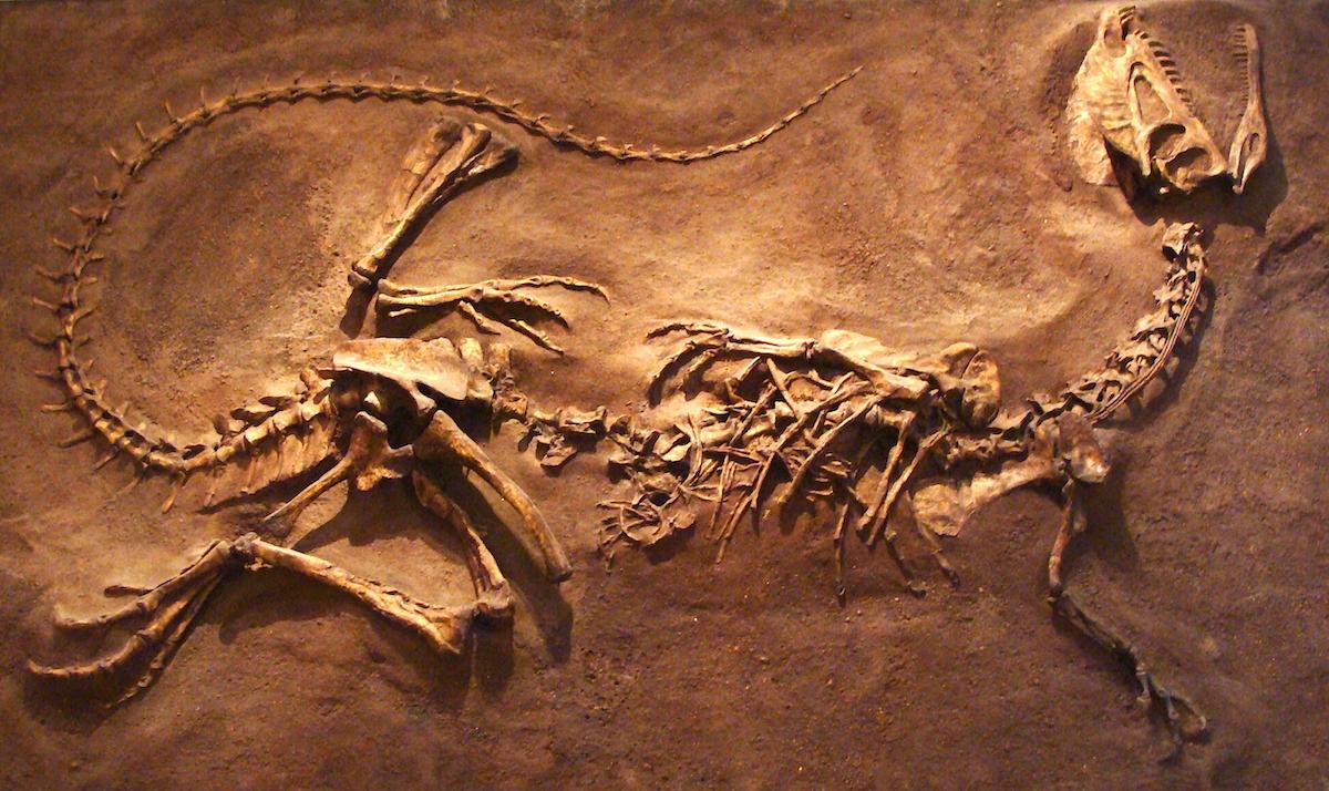 Fóssil de Dilophosaurus em exibição no Royal Ontario Museum, Canadá