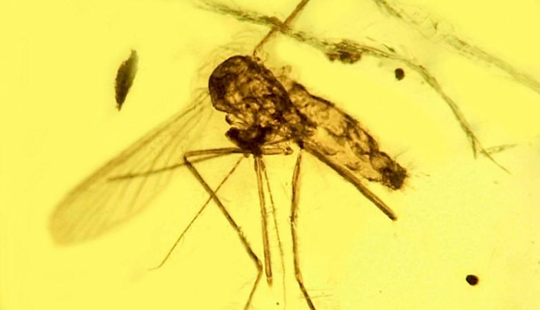 O registo mais antigo do Plasmodium da Malária, preservado em âmbar com 20 milhões de anos