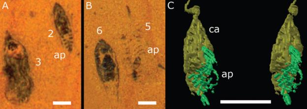 O fóssil foi digitalizado para criar um modelo 3D da estranha criatura