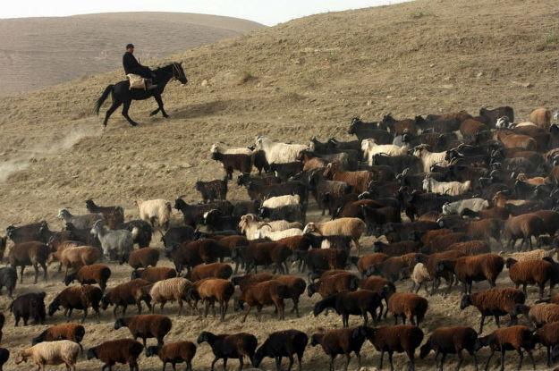 A peste dos pequenos ruminantes mata em poucos dias 90% dos animais infectados
