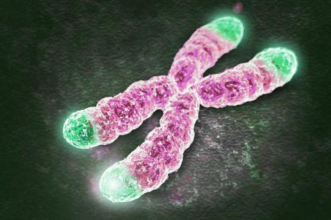 Os telómeros (a verde) encontram-se nas pontas dos cromossomas e funcionam como tampinhas de protecção para o ADN celular.