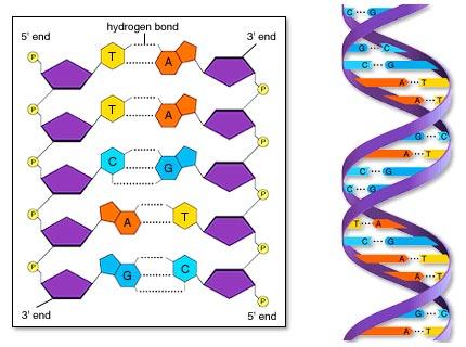 O alfabeto do código genético