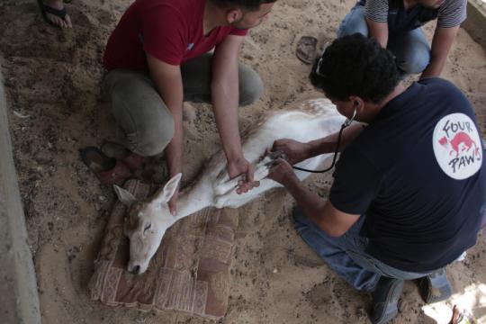 """Um cervo do Zoo de Khan Younis, """"opior zoológico do mundo"""", a ser examinado pelos veterinários da organização Four Paws"""