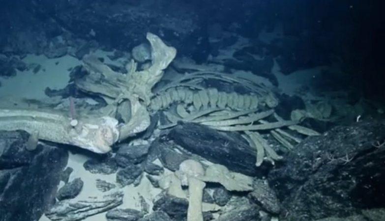 """Esqueleto de baleia no fundo do mar após aquilo que os cientistas dizem ter sido uma """"queda natural"""""""