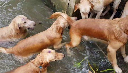 16 Golden Retrievers a nadar