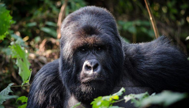 Gorilla Beringei, o Goila da Montanha