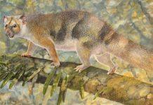 Ilustração do Microleo attenboroughi, o micro-leão marsupial extinto na Austrália há 18 milhões de anos