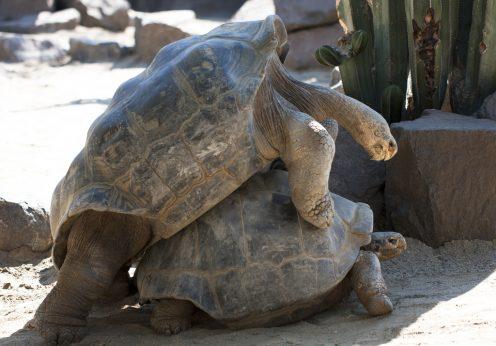 Tartarugas dos Galápagos a acasalar