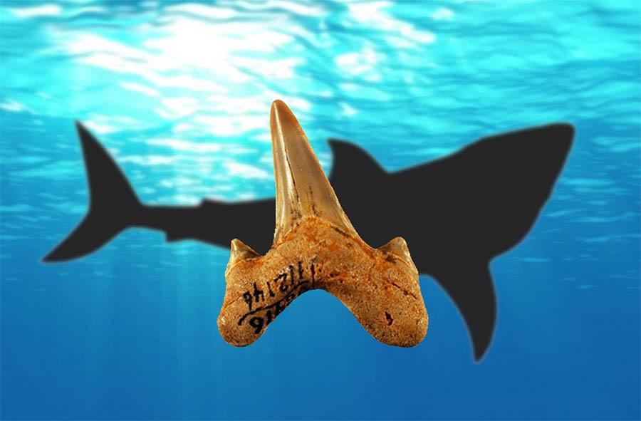Fósseis de dentes permitiram descobrir uma nova espécie de tubarão pré-histórico, o Megalolamna paradoxodon.
