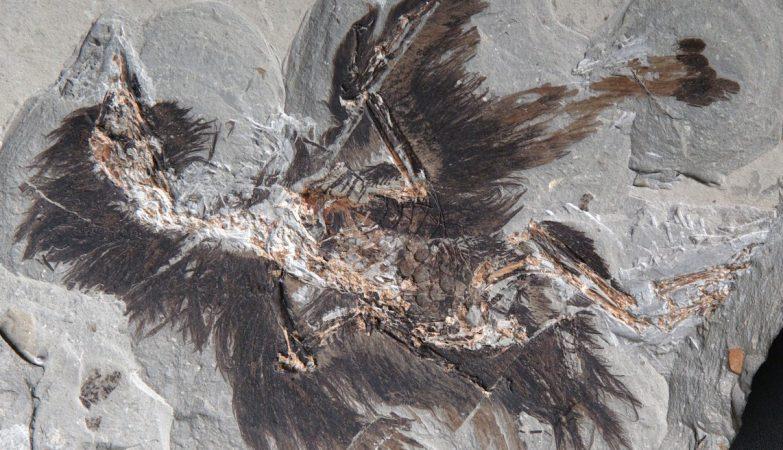 O fóssil do Eoconfuciusornis