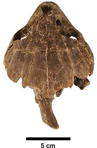 Tartaruga de Cabinda