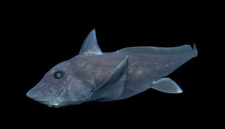 Imagens inéditas do Hydrolagus trolli, ou tubarão-fantasma, no fundo do mar.