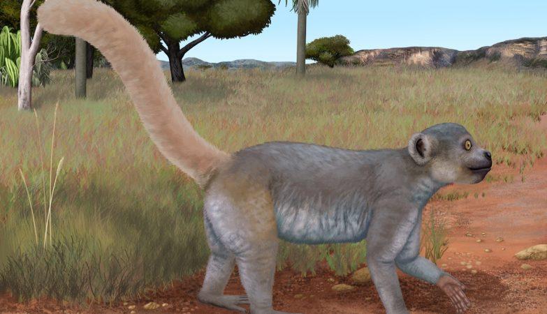 O Microchoerus hookeri é um pequeno primata semelhante ao extinto Archaeolemur edwardsi