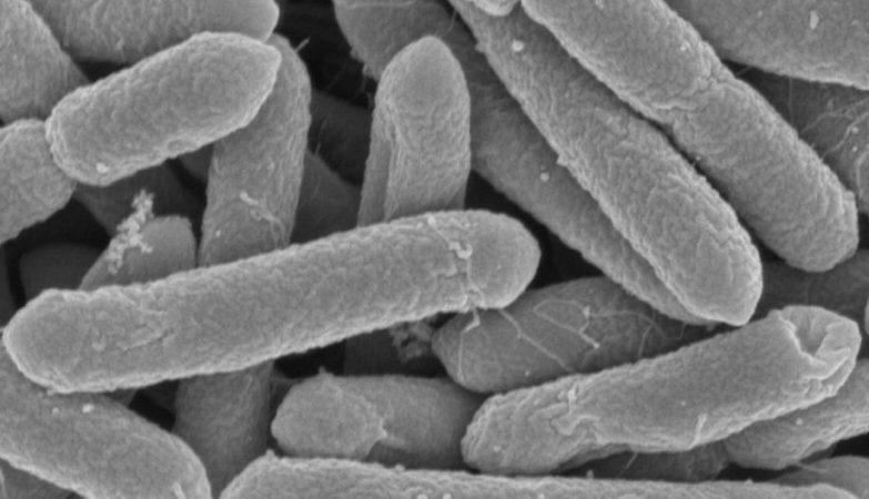 A bactéria Paenibacillus