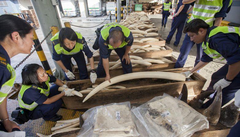 Presas de elefante apreendidas em Hong Kong
