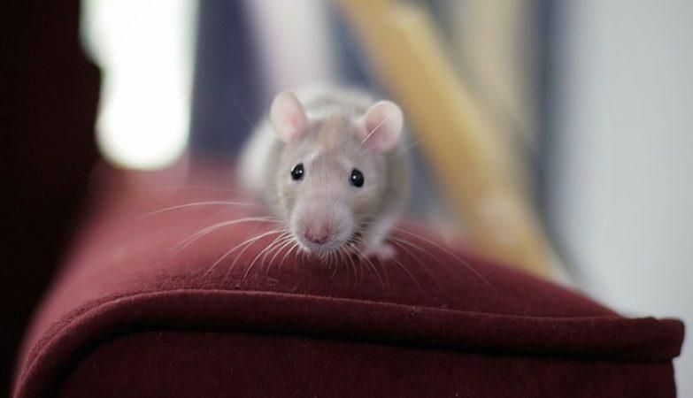 Os mecanismos cerebrais que controlam comportamento predatório em animais ainda são desconhecidos