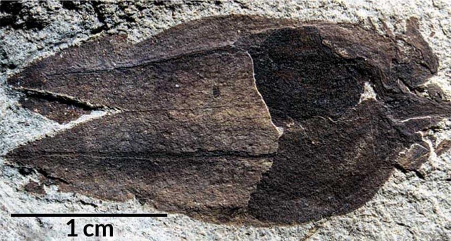 Fóssil com 52 milhões de anos inclui a estrutura exterior da planta e vestígios do fruto.