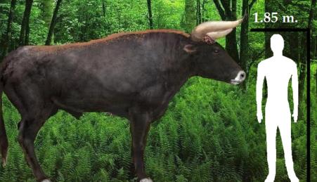 O tamanho provável dos auroques, com base em fósseis encontrados na Rússia.