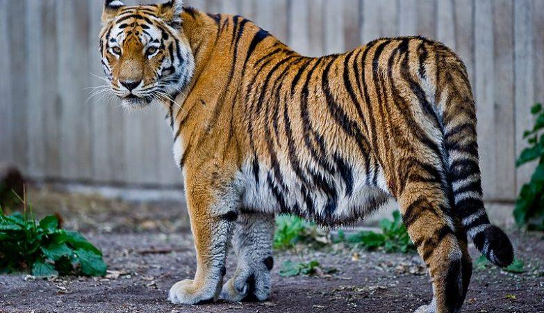 O ADN do Tigre Siberiano é praticamente igual ao ADN do Tigre-do-Cáspio