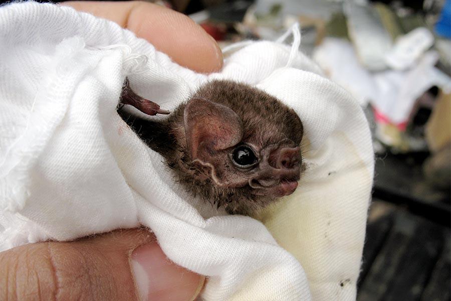 Morcego-vampiro de pernas peludas (Diphylla ecaudata).