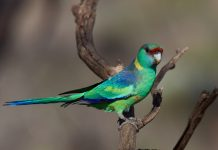 Barnardius zonarius, o papagaio de Barnard