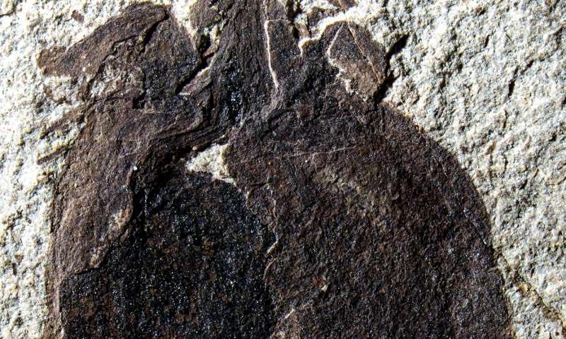 Fóssil raro de fruto do género Physalis encontrado na Patagónia argentina.