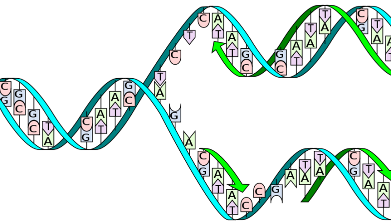 Uma cadeia normal de ADN é composta por sequências de pares de nucleótidos CG / AT, ou seja, a Citosina emparelha com a Guanina e a Adenina emparelha com a Timina