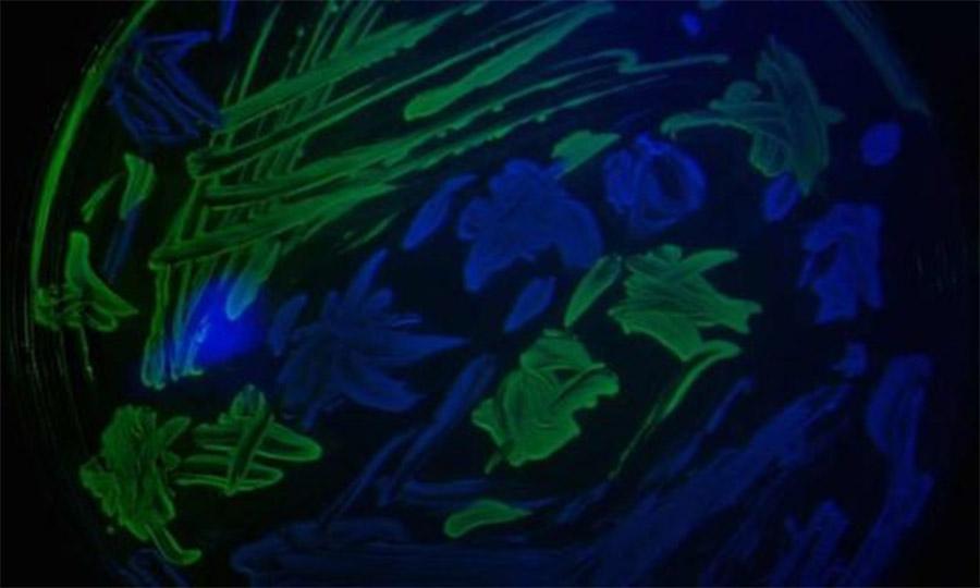 Dois tipos de bactérias E.coli numa placa de ágar: as verdes são resistentes aos antibióticos, as azuis não.