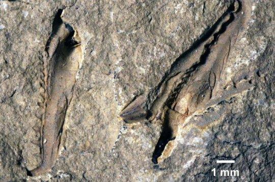 O fóssil do Websteroprion armstrongi