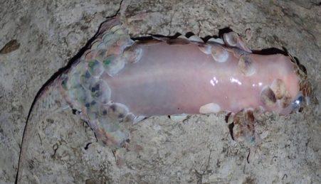 Ao perder as escamas, a nova espécie fica com a pele totalmente exposta
