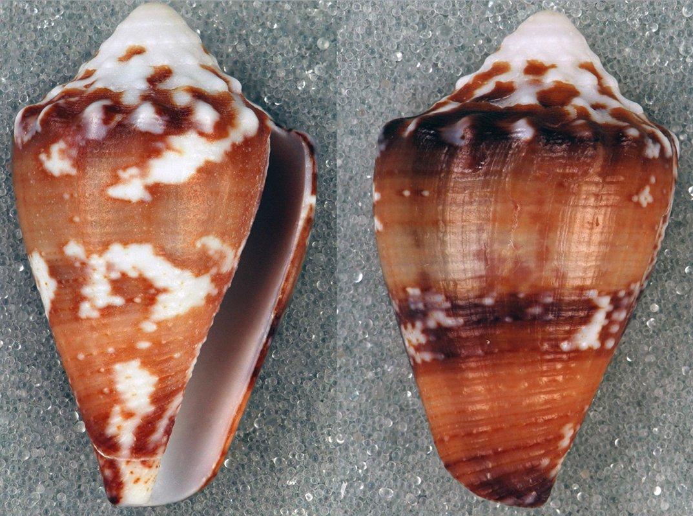 Conus regius é um molusco gastrópode da família Conidae