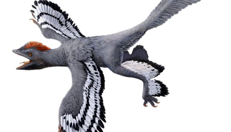 Ilustração do Anchiornis