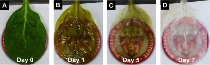 Decelularização da folha de espinafre