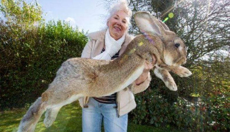 Simon, o coelho gigante que morreu em voo da United Airlines.
