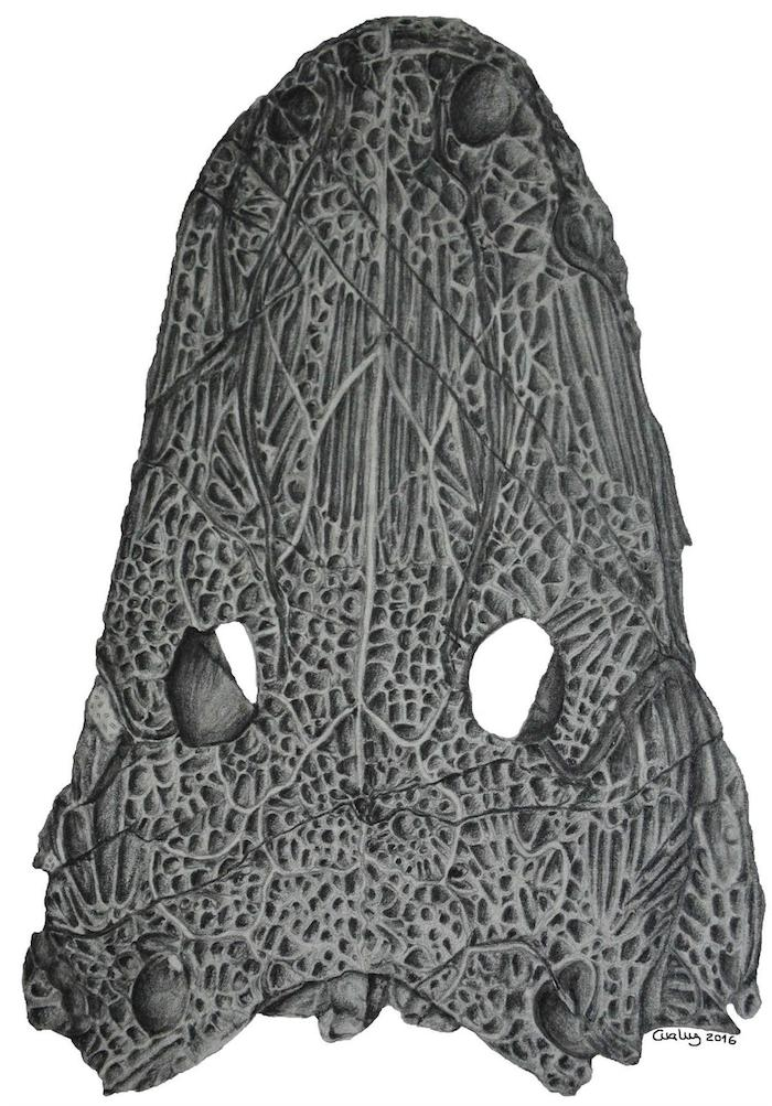 Desenho da vista dorsal do holótipo de Cyclotosaurus naraserluki, a nova espécie de anfíbio