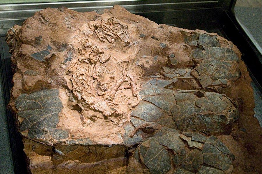 """Nova espécie de dinossauro oviraptossauro, baptizada como Beibeilong sinensis ou """"bebé dragão chinês""""."""