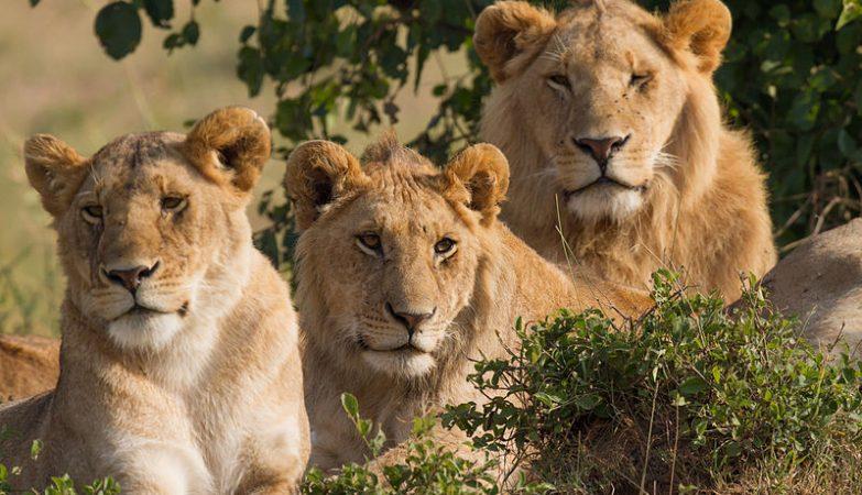 As leoas vivem em grupo, ao contrário das outras espécie de felinos