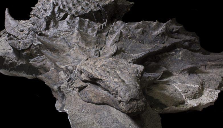 O nodossauro media cerca de 5 metros, tinha 1,7 metros de altura e pesava cerca de 1,5 toneladas.