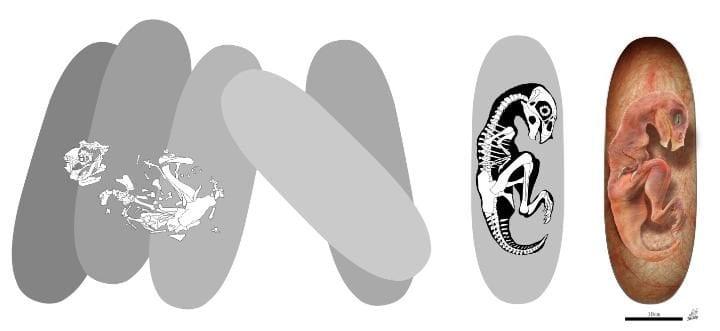 """Ilustração do dinossauro """"bebé dragão chinês"""" - ou Beibeilong sinensis - dentro do ovo."""