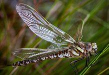 Uma libelinha da espécie Aeshna juncea